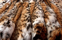 РЫСЕВИДНЫЕ КОШКИ LYNX CATS